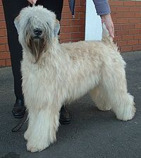 200px-Soft_Coated_Wheaten_Terrier_600
