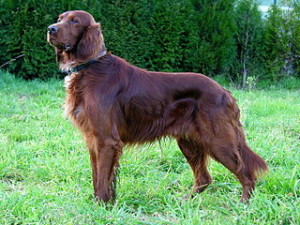320px-Can_Setter_dog_GFDL